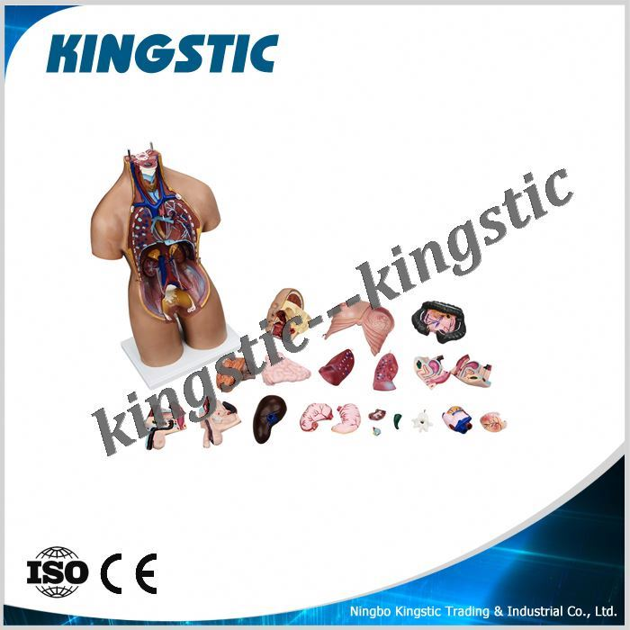 Kingstic human body anatomy model with stand