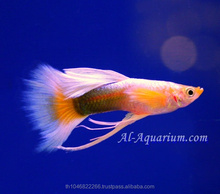 Guppy Fish Fish Farm For Sale and Export / Tropical Fish Exporter Thailand