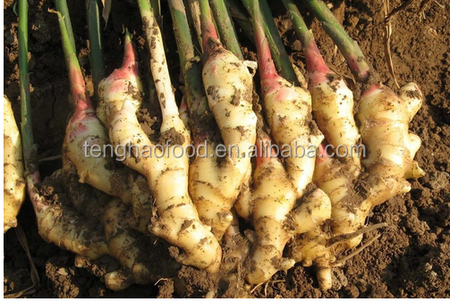 manufacture offering New crop Chinese fresh ginger from China