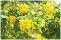 Cassia alata, Candle Bush, Candelabra Bush, Empress Candle Plant, Ringworm Tree or candle tree