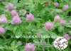 BNP Supply Best Natural Red Clover Extract