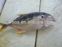 frozen yellow fin trevally fish