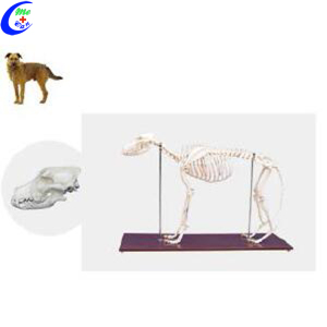 Dog Animal Skeleton Model for Sale