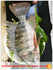 Wholesale frozen tilapia fingerlings fish price for seafood importer