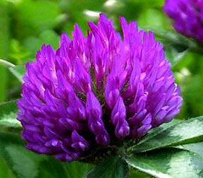 Wholesale Red Clover Extract 8%-40% total Isoflavone