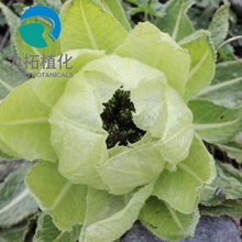 Natural Snow Lotus Herb Extract Powder,Saussurea involucrata Extract, Snow Lotus Herb P.E