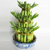 Natural Plants Spiral Lucky Bamboo for Indoor decorative