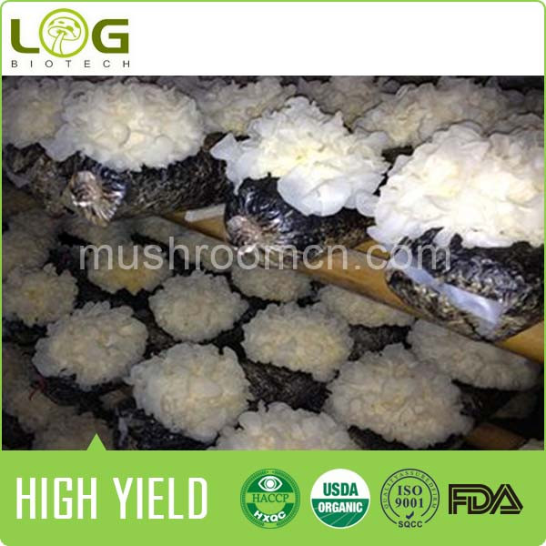 High yield and stable quality Snow Fungus Mushroom logs