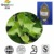 Natural 1% 10% Hederacoside C Hederacosides Ivy Leaf Extract