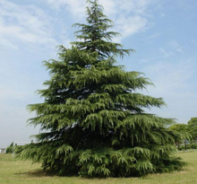 Outdoor plant evergreen ornamental garden cedar