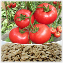 vegetable tomato seeds red Color heat tolerant tomato seeds hybrid f1 indeterminate