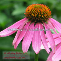 Echinacea Purpurea Whole Plant, Indian Medicinal Herb