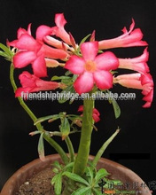 multi- color flower Adenium obesum plants bonsai