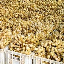NEWLY CULTIVATED GREAT QUALITY FRESH GINGER