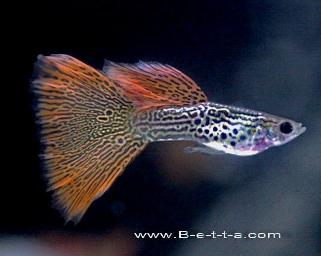 Red Lacd King Cobra Guppy.