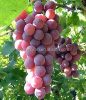 Hot Sale Best Quality Grape Seed Extract Up to 95%