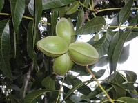 pecans whole in shell 2015 crop