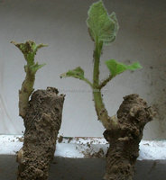 99% survive bare stump paulownia bare cut roots