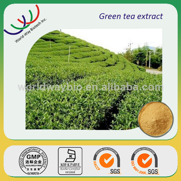 Green tea extract China supplier in bulk natural green tea extract catechins