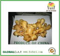 Large of fresh dry ginger export