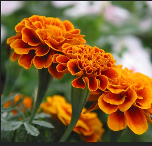 Marigold Extract Lutein 5%-90% UV best quality