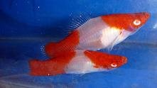 Kohaku Sword Tail Aquarium Marine Fish