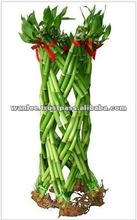 Thailand LB-024 Draceana Braided Cutting Lucky Bamboo
