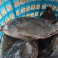 Frozen tilapia fish feed from Xiamen