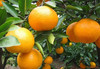 2014 fresh sweet and sour juicy mandarin orange