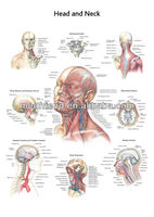 3D Medical Charts-Head and Neck