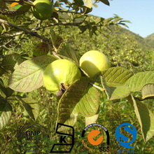 guava leaf extract