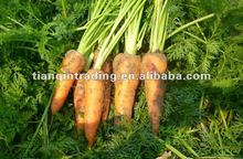 fresh carrot new crop