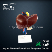 Human organs anatomical model medical teaching liver and duodenum, pancreas model
