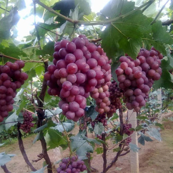 S119 Sweet fruit High Quality Grape Seeds For Sale