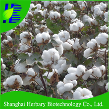 Super big cotton boll seeds, cotton seeds with short growing period