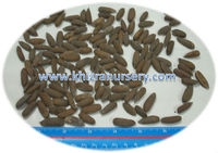 Chilgoza Pine nuts Suppliers