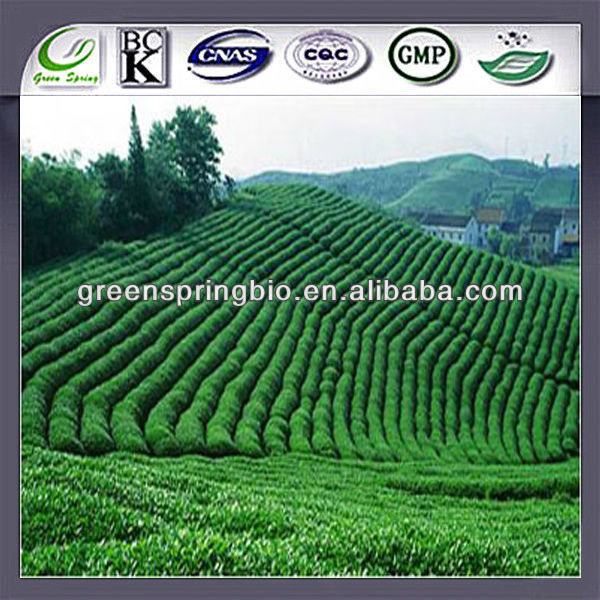 Raw material Pure Natural Green Tea Extract /Tea Polyphenol, Catechin, EGCG