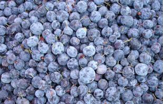 Factory best sell IQF Frozen Style Fresh Blueberry
