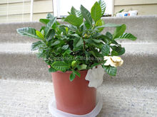 Gardenia indoor plant Pot- 1 gallon pot