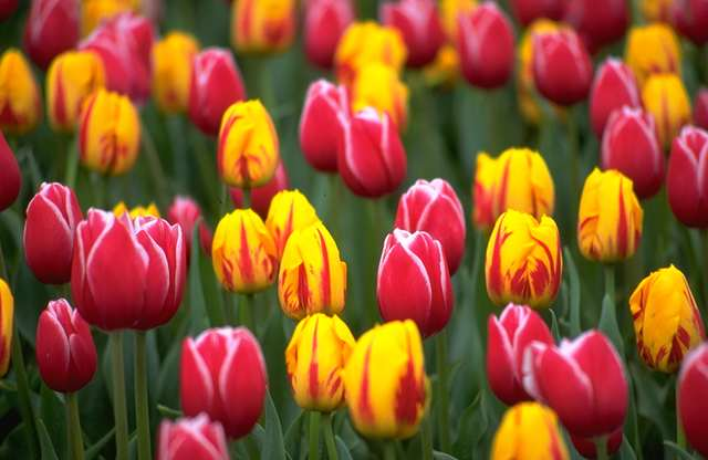 Tulip Flowers Bulbs Mix Color flower bulbs