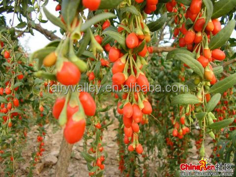 growing your wolfberry goji berry trees by ningxia goji seeds, Beautiful flower