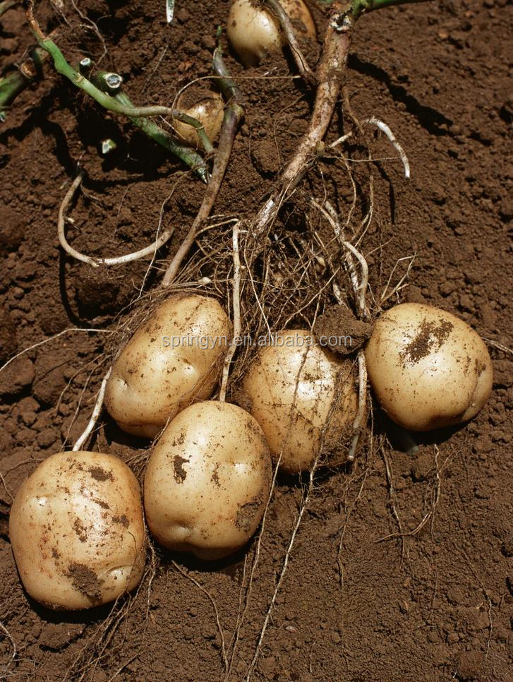 2015 New Crop Chinese Fresh big Potato