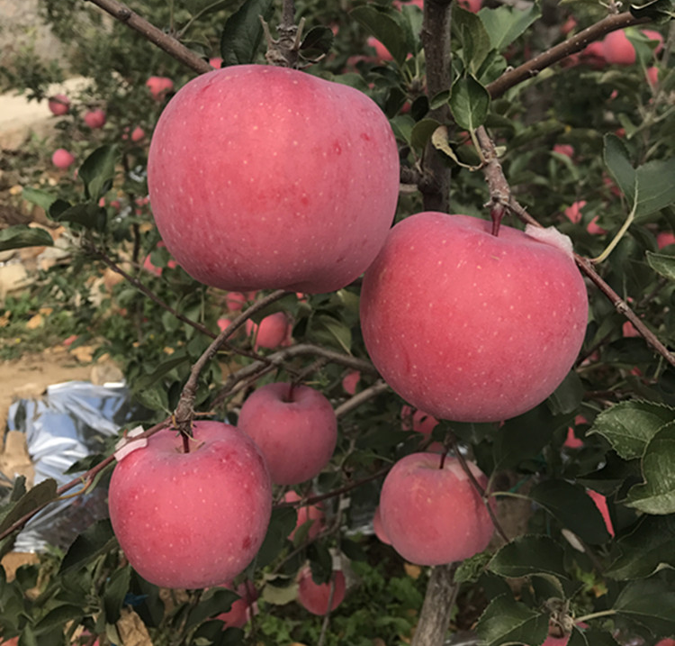Chinese wholesale fresh red fuji apple