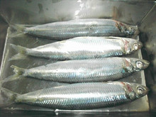 newest price for sardine <strong>fish</strong> in new catching season