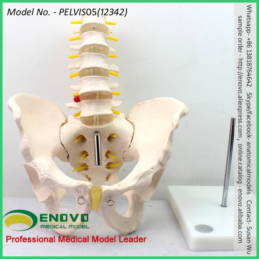 Venta al por mayor esqueleto PELVIS 12344 anatomía pélvica femenina ...