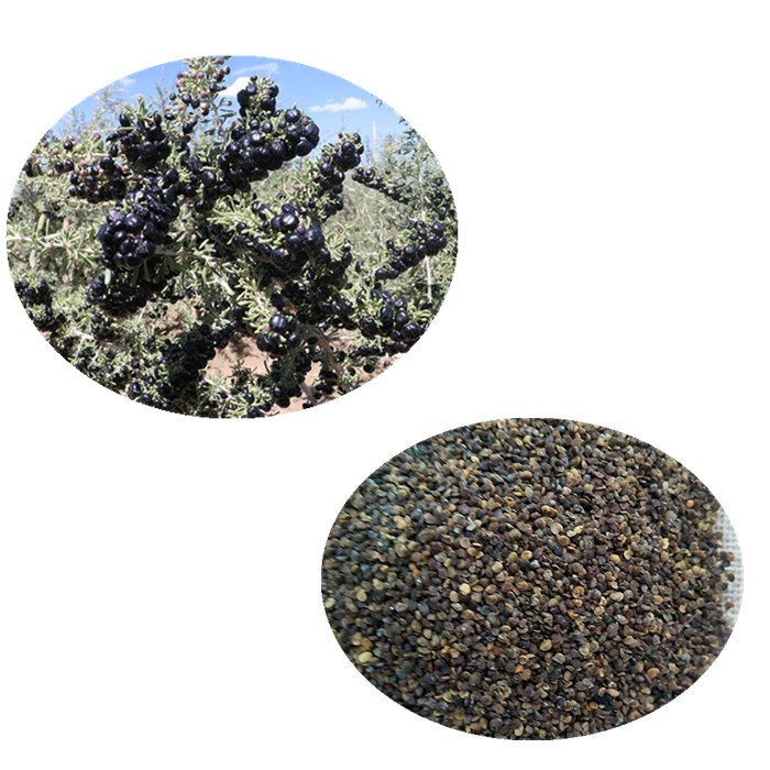 Hei gou qi High germination herb seeds chinese black wolfberry seeds