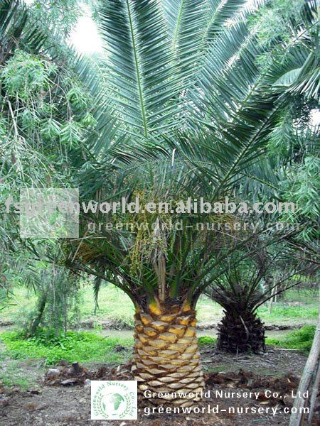 phoenix canariensis one meter clear trunk