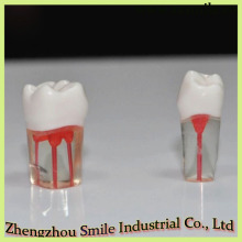 Wholesale M8006 Dental Root Canal Tooth Model/Dental Study Model