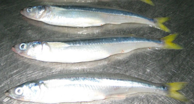 FROZEN WHOLE ROUND SILVER SMELT