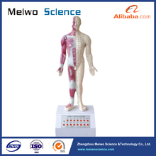 14nerve points acupuncture electric medical anatomical model for university
